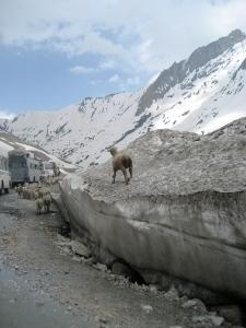 Kashmir (Sooty Glacier With Goat)